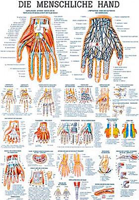 anat. Lehrtafel: Die menschliche Hand 70 x 100 cm, laminiert, Rüdiger Anatomie, medishop.de