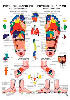 anat. Poster: Physiotherapie Reflexzonen Fuß, 50 x 70 cm, Papier, zweisprachig, Rüdiger Anatomie, medishop.de