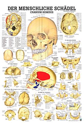 anat. Lehrtafel: der menschliche Schädel 70 x 100 cm, laminiert, Rüdiger Anatomie, medishop.de