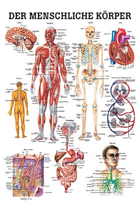 anat. Lehrtafel: Der menschliche Körper 70 x 100 cm, Papier, Rüdiger Anatomie, medishop.de
