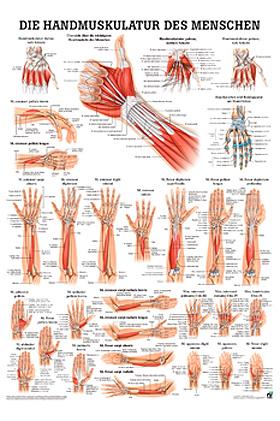 anat. Poster: Die Handmuskulatur des Menschen 50 x 70 cm, laminiert, Rüdiger Anatomie, medishop.de