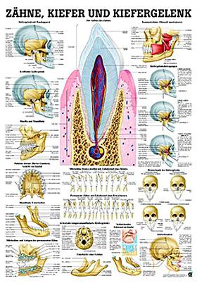 anat. Lehrtafel: Zähne & Kiefergelenk 70 x 100 cm, Papier, Rüdiger Anatomie, medishop.de