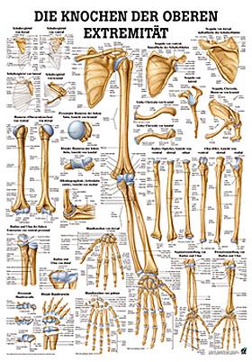 anat. Lehrtafel: Knochen obere Extremität 70 x 100 cm, Papier, Rüdiger Anatomie, medishop.de