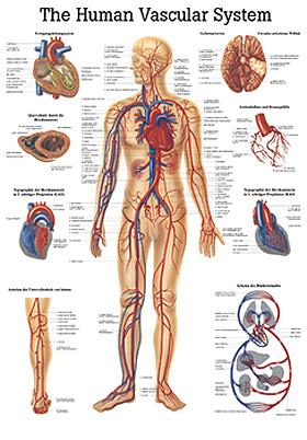 anat. Lehrtafel: Human Vascular System 70 x 100 cm Papier (engl. Ausführung), Rüdiger Anatomie, medishop.de