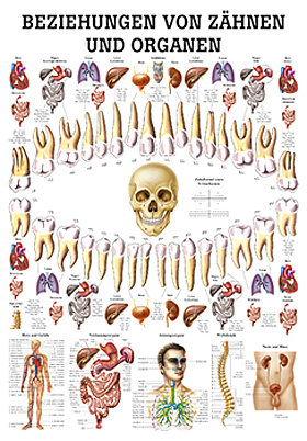 anat. Lehrtafel: Beziehungen von Organen und Zähnen 70 x 100 cm, laminiert, Rüdiger Anatomie, medishop.de