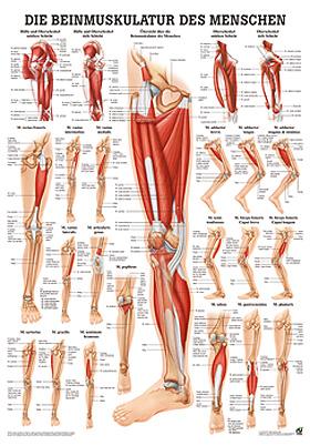 anat. Poster: Beinmuskulatur des Menschen 50 x 70 cm, Papier, Rüdiger Anatomie, medishop.de