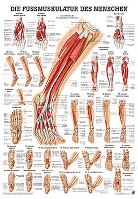 anat. Poster: Fußmuskulatur des Menschen 50 x 70 cm, Papier, Rüdiger Anatomie, medishop.de