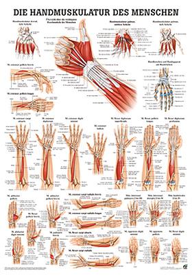 anat. Poster: Handmuskulatur des Menschen 50 x 70 cm, Papier, Rüdiger Anatomie, medishop.de
