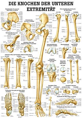 anat. Lehrtafel: Die Knochen der unteren Exträmität 70 x 100 cm, Papier, Rüdiger Anatomie, medishop.de