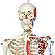 Klassik-Skelett Max, Muskeldarstellung, auf Hängestativ mit Bremse