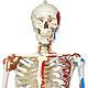 Luxus-Skelett Sam, auf 5-Fuß-Rollenstativ mit Bremse