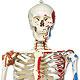 Luxus-Skelett Sam, auf Hängestativ mit Bremse