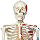 Klassik-Skelett Max, Muskeldarstellung, auf 5-Fuß-Rollenstativ mit Bremse