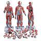 Muskelfigur, zweigeschlechtig mit inneren Organen, 33-teilig