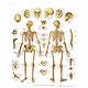 Das menschliche Skelett, Lehrtafel 50 x 67cm