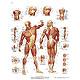 Die menschliche Muskulatur, Lehrtafel 50 x 67cm