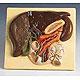 Leber mit Gallenblase, Bauchspeicheldrüse und Zwölffingerdarm