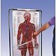 Thin Man,  das sequentielle Lernprogramm der menschlichen Anatomie