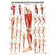 anat. Poster: Beinmuskulatur des Menschen 50 x 70 cm, Papier