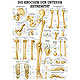 anat. Lehrtafel: Die Knochen der unteren Exträmität 70 x 100 cm, Papier