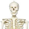 Klassik-Skelette günstig kaufen